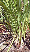 lemongrass plant