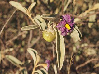 Bush Tomato | Akudjura