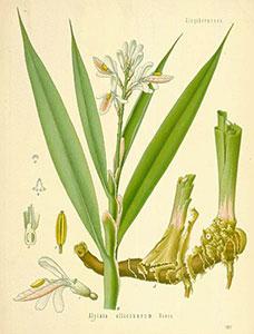 botanical illustration of galangal