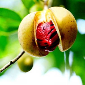 nutmeg shown on tree in fruit, wrapped in red mace